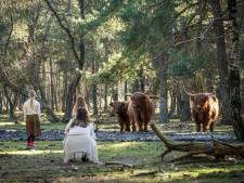 Waarschuwing voor levensgevaarlijke situaties bij Schotse hooglanders op de Veluwe: 'Het is geen kinderboerderij'