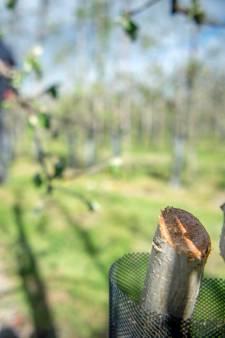 Spijkers in mais en afgezaagde fruitbomen: agriterreur zorgde jarenlang voor angst in Maas en Waal