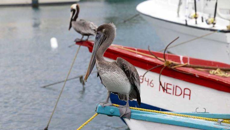 Pelikanen op een boot in de haven van Oranjestad. Beeld anp