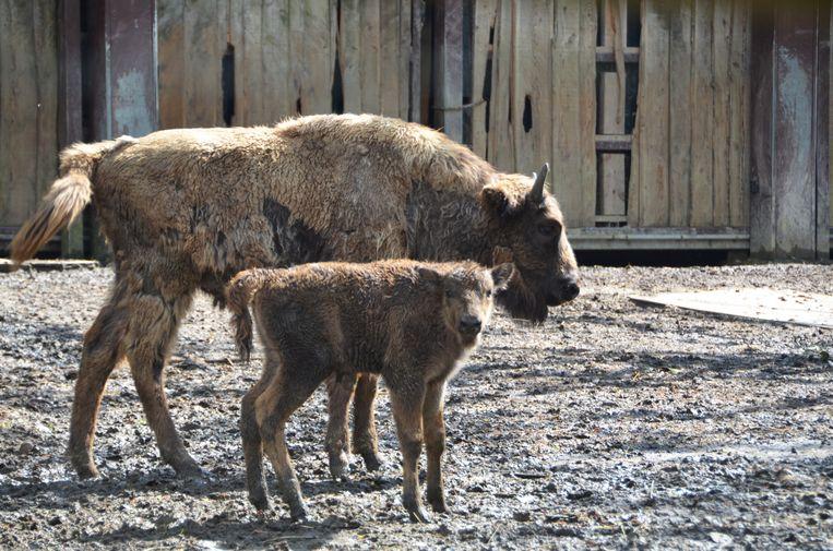In het pret- en dierenpark Bellewaerde zijn het afgelopen maand drie kalfjes geboren. Beeld Bellewaerde