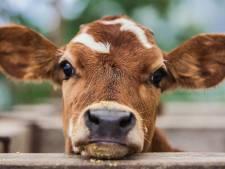 Vleesmerk laat claim 'stressloos leven voor kalf' los: was misleidende tekst volgens Wakker Dier