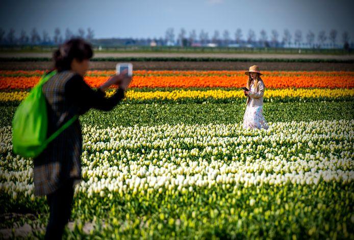 Het tulpentoerisme op Goeree-Overflakkee groeit, zoals hier in Sommelsdijk. Daar zijn boeren niet altijd even blij mee.