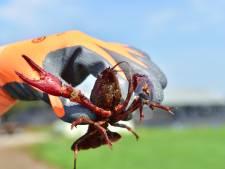Amerikaanse rivierkreeft vormt plaag in Edese vijver: 'Het zijn net konijnen'