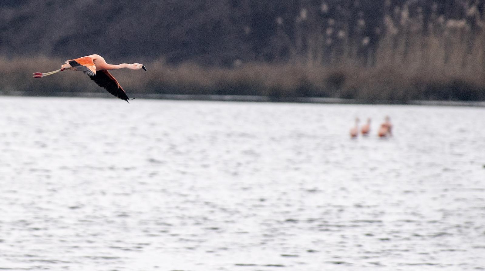 Sinds de jaren tachtig broeden elk voorjaar flamingo's in het Zwillbrocker Venn.