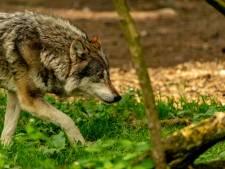 Un loup à nouveau aperçu en province du Limbourg