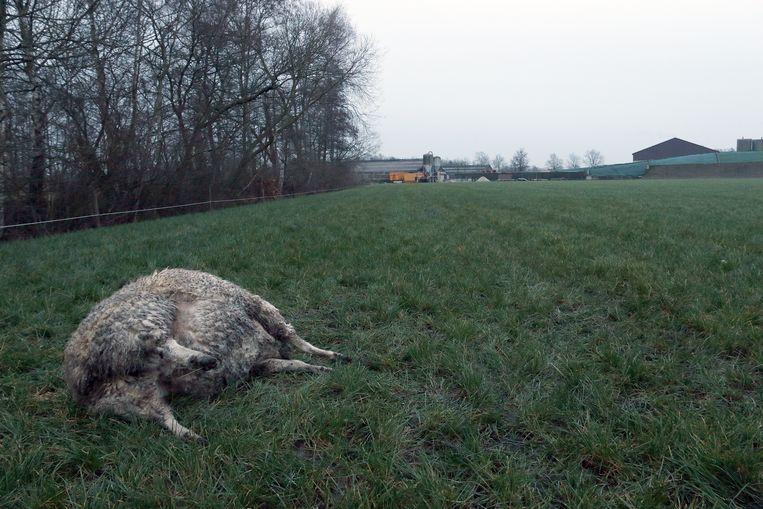 Eén van de gedode schapen.