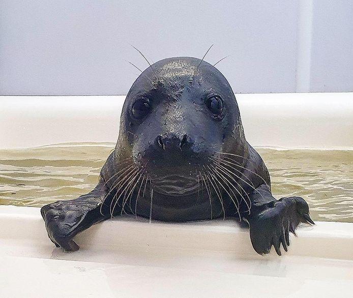 Het bijzondere zeehondje is helemaal zwart.