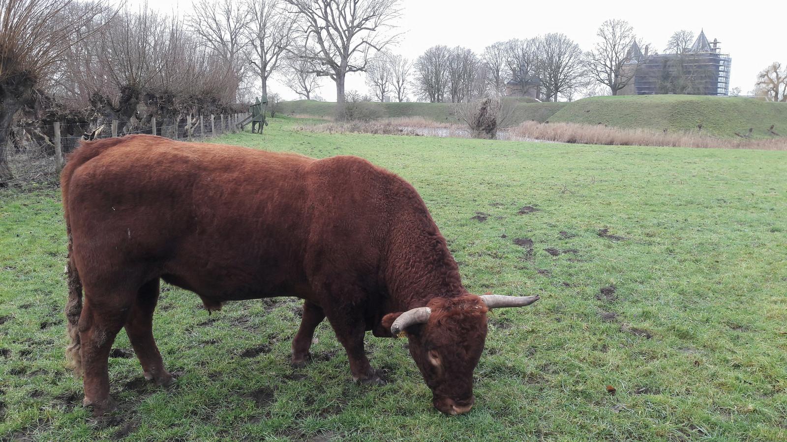 Een Rode Geus graast bij slot Loevestein. In het vlees van deze runderen zaten te veel dioxines.
