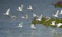 Lepelaars kiezen het luchtruim bij een uitkijkpunt in de buurt van Stellendam op Goeree-Overflakkee.