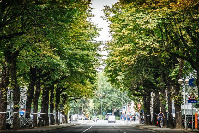 De kastanjebomen aan de Charlottalei in Antwerpen blijven nog zeker tot eind deze week staan Beeld Alexander d'hiet