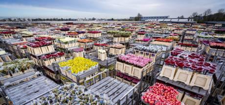 Van drugssmokkel tot witwassen: criminelen zijn dol op Nederlandse bloemenveilingen