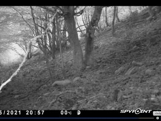 Nieuw videobewijs van aanwezigheid lynx in de Semoisvallei in België