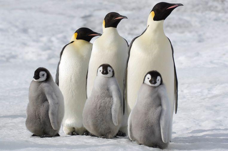 Dieren in de poolgebieden, zoals pinguïns in Antarctica lopen het grootste risico.