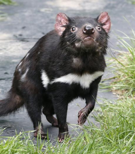 Hoopvolle ontdekking voor met uitsterven bedreigde Tasmaanse duivels