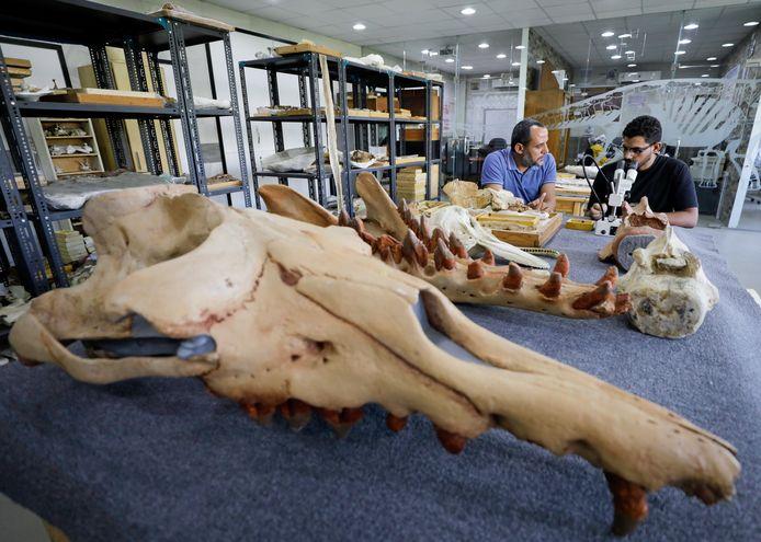 De kop van de 43 miljoen jaar oude walvis.
