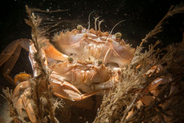 Parende krabben op de Noordzeebodem. Foto: Udo van Dongen Beeld rv