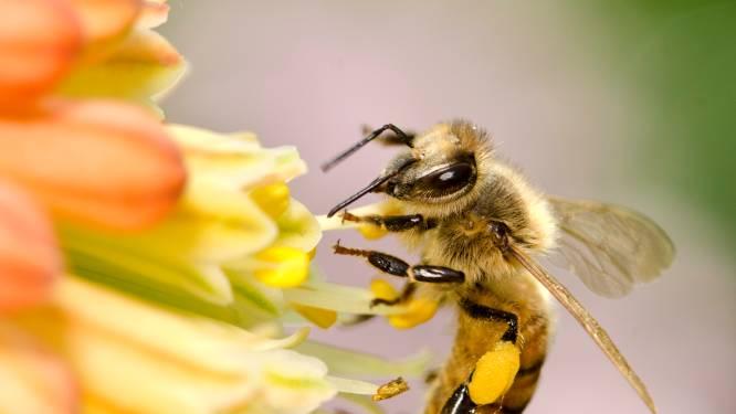 Nederlands labo traint bijen om coronavirus op te sporen