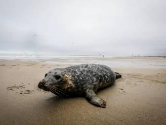 """Eerste boete ooit voor wandelaar die zeehond lastigvalt: """"Greep zelfs niet in toen zijn hond in staart van zeehond beet"""""""