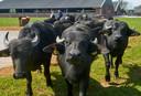 ,,Buffels zijn zo nieuwsgierig als een geit.''