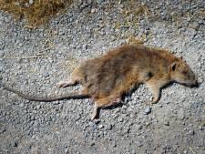 Ossenaar schaft wapens aan om op ratten schieten