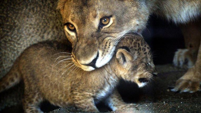 Jonge leeuwtjes in Artis (2002). Beeld anp