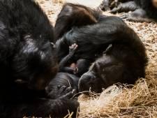 Chimpansee geboren in Beekse Bergen, 'Moeder Lenny houdt haar jong dichtbij'