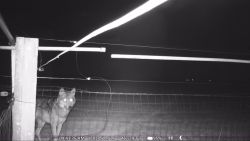 Gespot: wolf August wil toeslaan in schapenweide