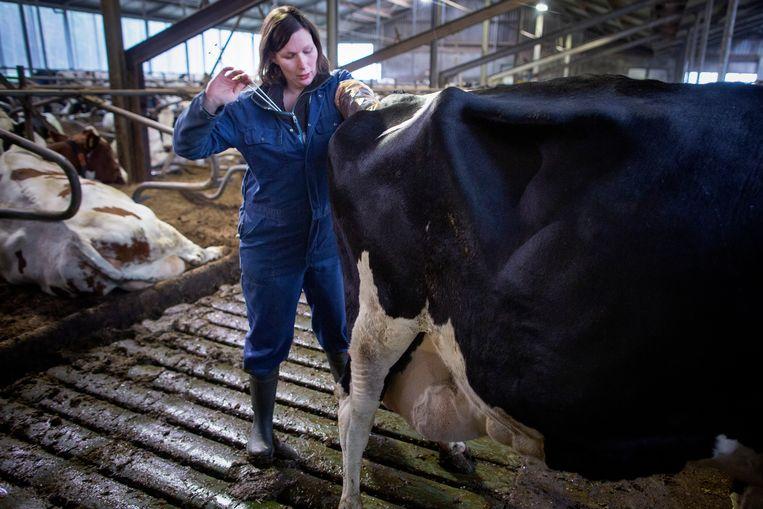 Karin Meijer insemineert één van haar koeien.  Beeld Herman Engbers