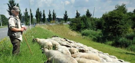 Herder baalt van vandalisme en vertrekt met zijn schapen: 'Dit jaar is het veel erger'