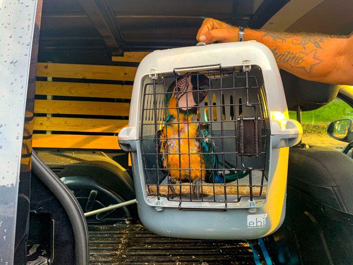 De brandweer is vrijdagmiddag twee keer uitgerukt om een Apeldoornse ara uit een boom te redden.