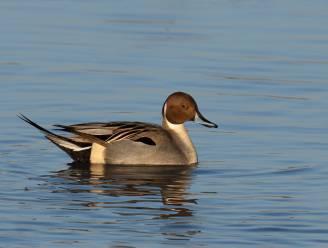 Ouderwetse winterprik zorgt voor groter aantal watervogels op de Rupel