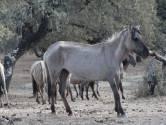 Zwakke konikpaarden uit de Oostvaardersplassen weg uit Spaans natuurpark: 'Ze hadden de winter niet overleefd'