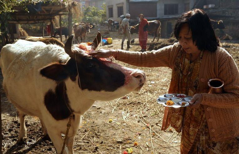 Een vrouw biedt fruit aan aan een koe. Hindoes geloven dat zij de incarnatie zijn van de godin van voorspoedigheid, Laxmi. Beeld null