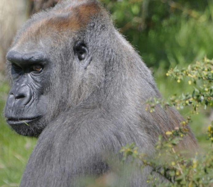 Gorilla Annette in betere tijden. Haar slechte gebit werd haar fataal.