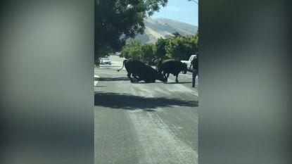 Video: Stierengevecht in Californische woonwijk