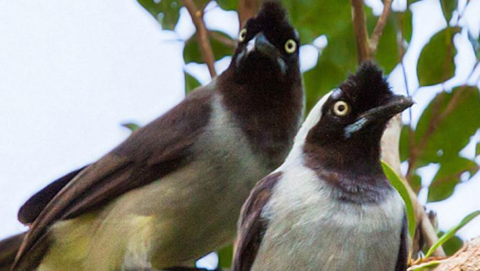 Twee pas ontdekte 'gralhas' in het Braziliaanse Amazonegebied.