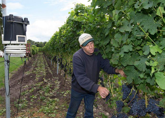 Gerard Ensing met liefde aan het werk op zijn wijngaard.