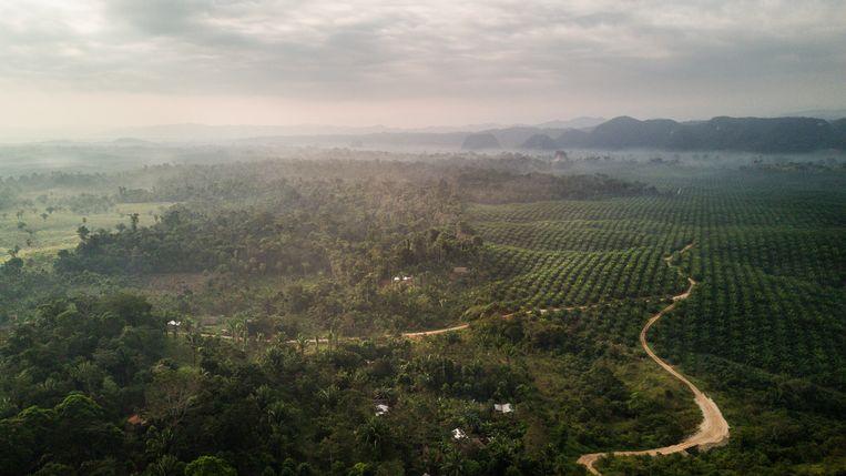 Een palmolie-plantage in Guatemala.   Beeld ActionAid