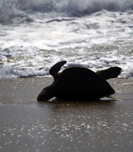 Plus de 120 tortues marines mortes sur des plages mexicaines