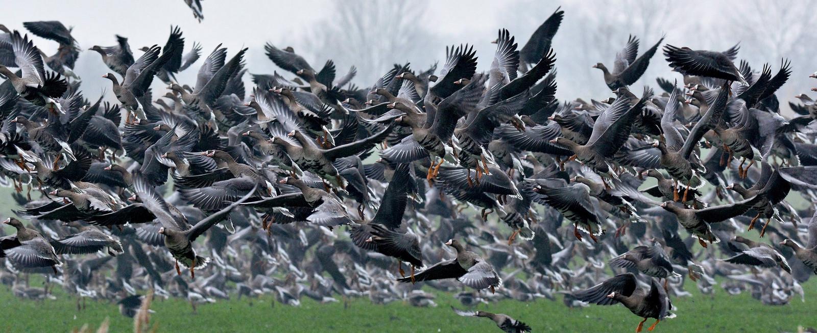 Een vlucht wilde kolganzen in Hongarije.
