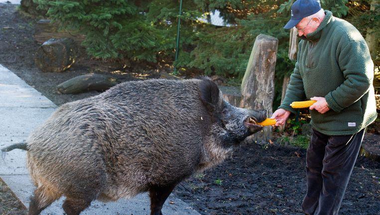 Een Duitser voedt een wilde zwijn in Spremberg. Beeld EPA