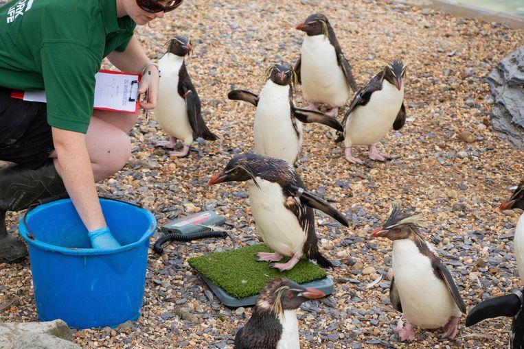 De pinguïns blijken veel over te hebben voor een vissnack. Beeld Photo News
