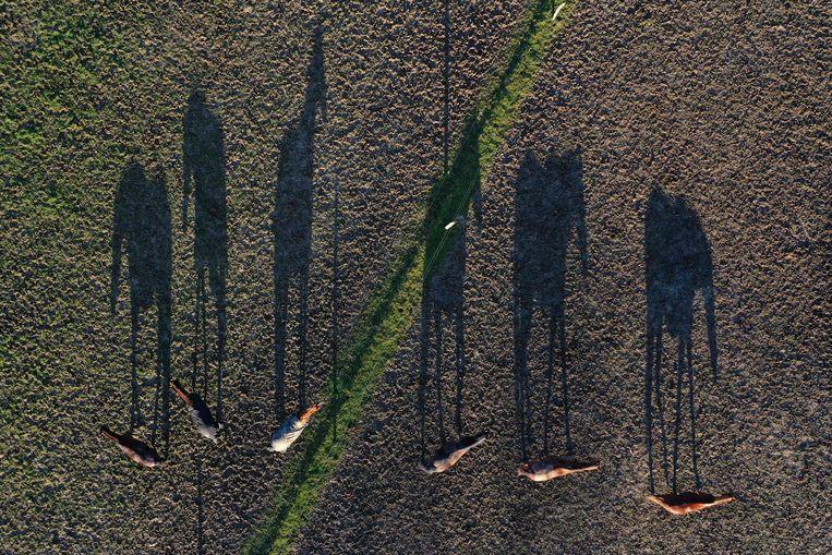 De zeer laaghangende zon in Saint-Gondran, in het westen van Frankrijk, geeft dit groepje grazende paarden een enorme schaduw. Beeld AFP