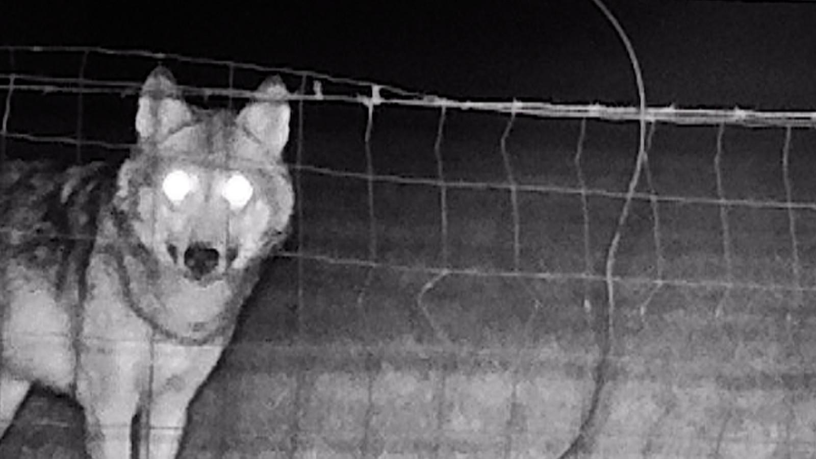 Een wolf, gespot in het Belgische Duffel. Deze wolf zwierf in het voorjaar een tijdje door Brabant.