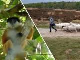 Dit was Nederland vandaag: schapen gaan stikstofprobleem bestrijden