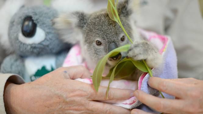 """Australië zet miljoenenplan op om bedreigde koala te redden: """"We moeten de toekomst van dit icoon veiligstellen"""""""