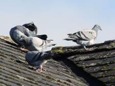 """Geen 'pil voor duiven' in Gent: """"De slechtvalken houden alles onder controle"""""""
