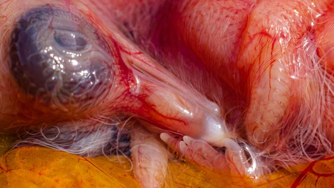 Kwetsbaar beeld van niet levensvatbaar duifje haalt selecties wedstrijd National Geographic