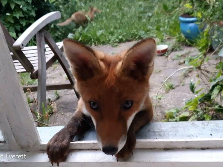Simon (48) krijgt elke dag bezoek van deze vos en haar jongen