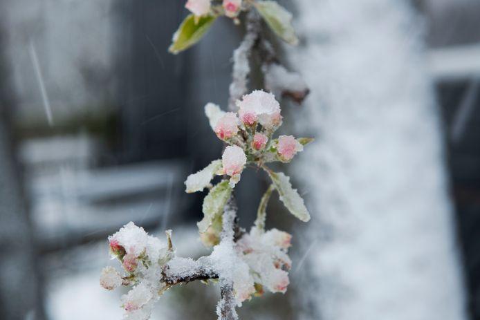 Het komt zelden voor dat fruitbloesem onder een dik pak sneeuw komt te liggen in april, zoals hier begin deze maand in Buren.